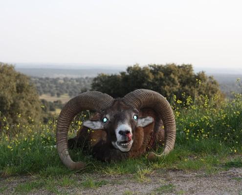 mouflon05