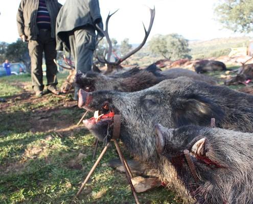 wild-boar01