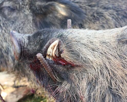wild-boar03